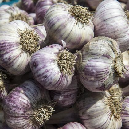 It's time to plant garlic. Photo by Lynn Ketchum.