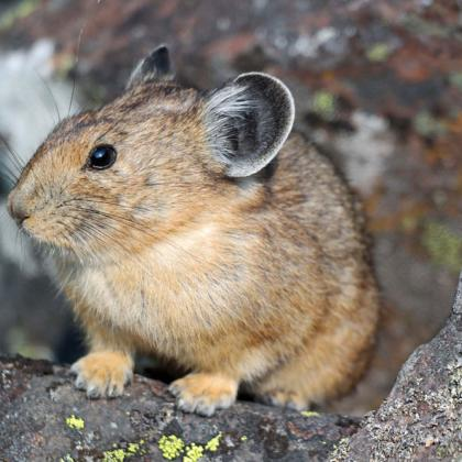 Adult pika at Palisade Falls, Montana