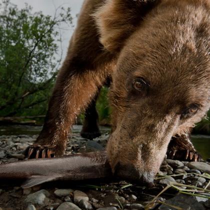 Brown bear eats a salmon in Alaska