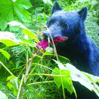Black bear eats devil's club berries in southeastern Alaska