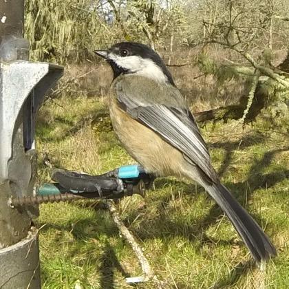 Don't worry, birds won't become dependent on you feeding them, OSU study suggests