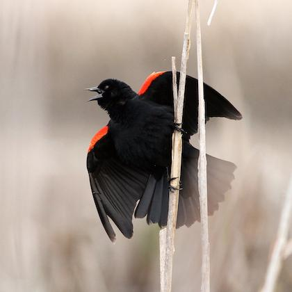 Red-winged blackbird on a cattail