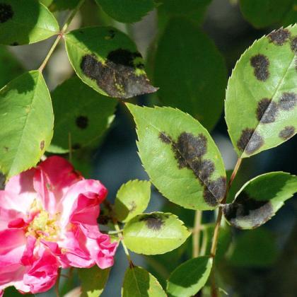 black spot on rose