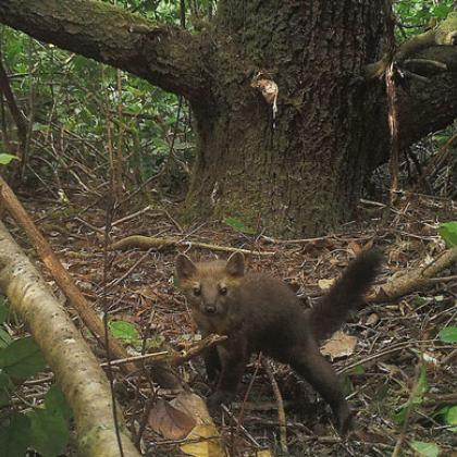 Coastal Pacific marten in the Oregon Dunes is captured by a remotely-triggered camera