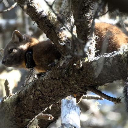 Rare coastal Pacific marten in the Oregon Dunes is captured by a remotely-triggered camera.