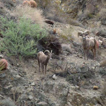 A desert bighorn sheep ewe (left) and ram are observed in the Providence Mountains in the Mojave Desert in California.