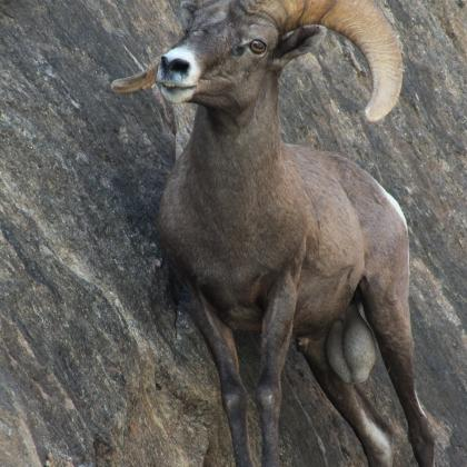 A bighorn ram perched on a cliff in Grand Canyon National Park.