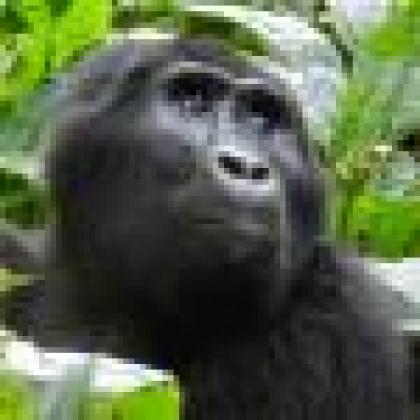gorillathumb