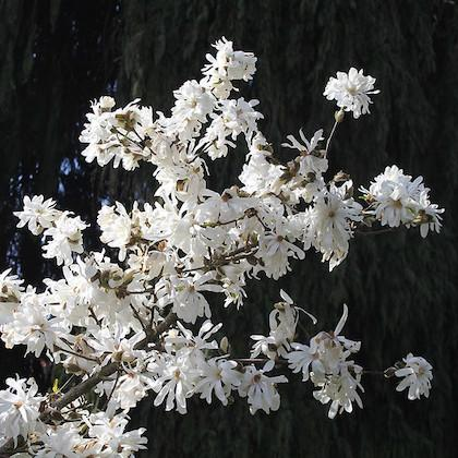 Image shows white flowers on a tree branch with a dark background