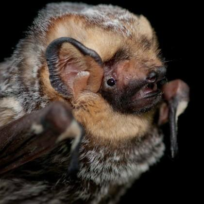 Hoary bat pic by Daniel Neal