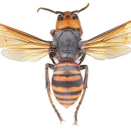 Asian giant hornet not in Oregon yet.
