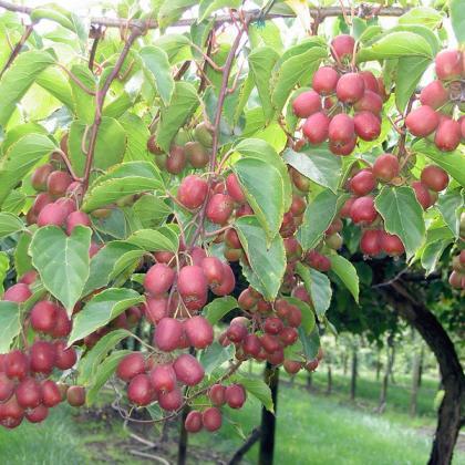 """""""Ananasnaya"""" is a hardy, fuzzy kiwifruit."""