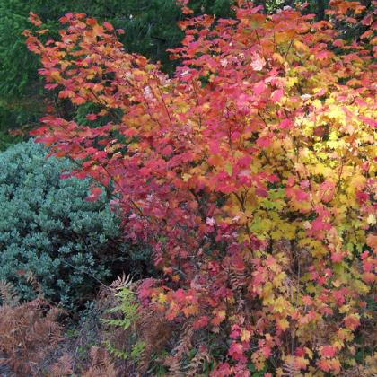 Oregon native vine maples have beautiful fall color.