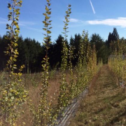 Oregon poplar plantation