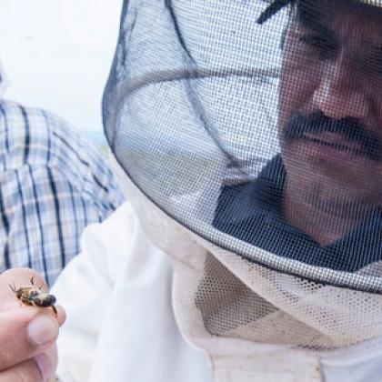 Ramesh Sagili inspects a European honeybee in a carrot seed field near Madras, Ore.