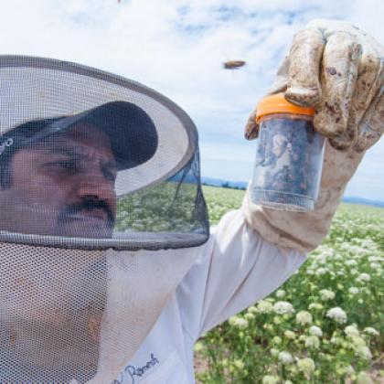 Ramesh Sagili, Oregon State University associate professor of apiculture and Extension specialist, examines honeybees in Madras, Oregon.