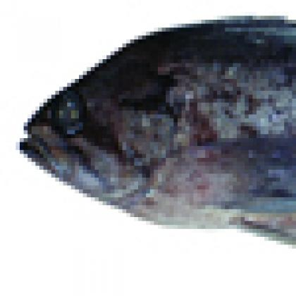 Researchers conclude popular rockfish is actually two