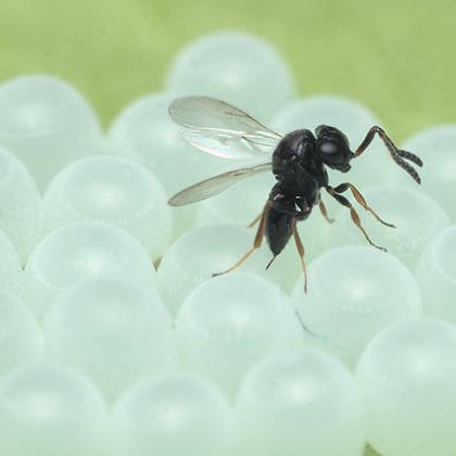 An adult samurai wasp lays eggs in a mass of brown marmorated stink bug eggs