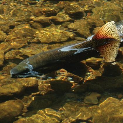 Returning chinook salmon
