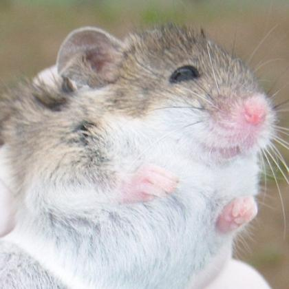 Algerian mouse