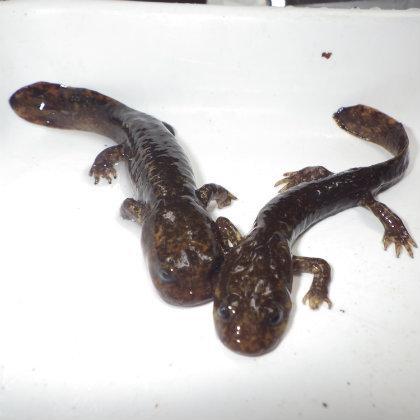 Coastal giant salamanders