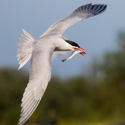 tern with smolt