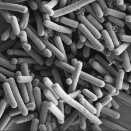 Lactobacillus johnsonii by Kathryn Cross, IFR