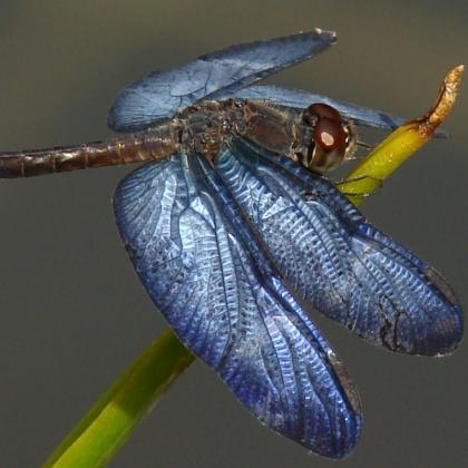 Odonata by LACIA-INPA