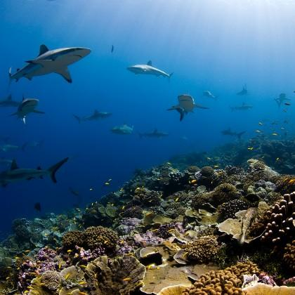 Sharks over healthy reef