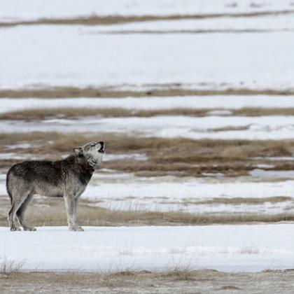 alpha male wolf in Yellowstone National Park