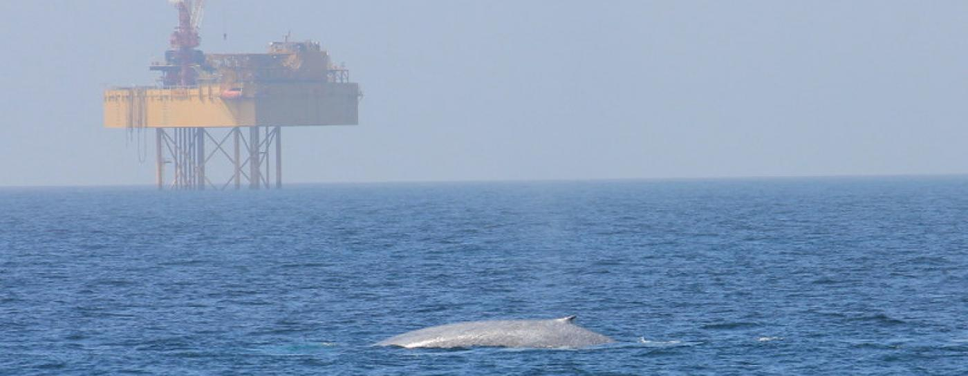 Image of a New Zealand blue whale in the ocean in the foreground with a drilling rig in the background.