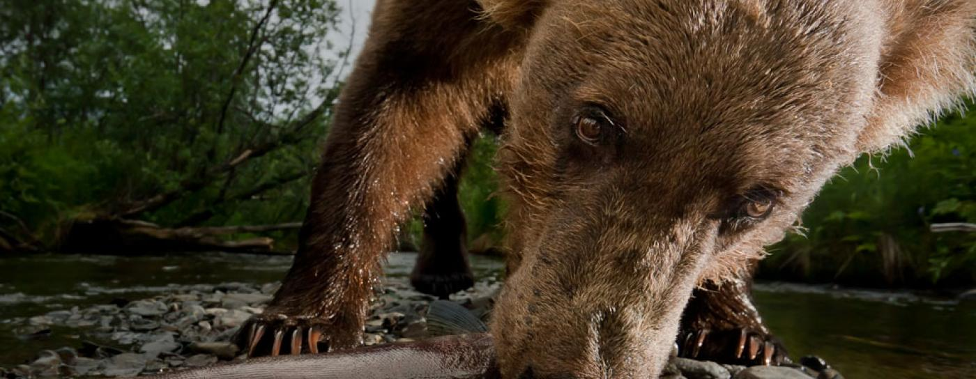 Brown bear eats a salmon in Alaska