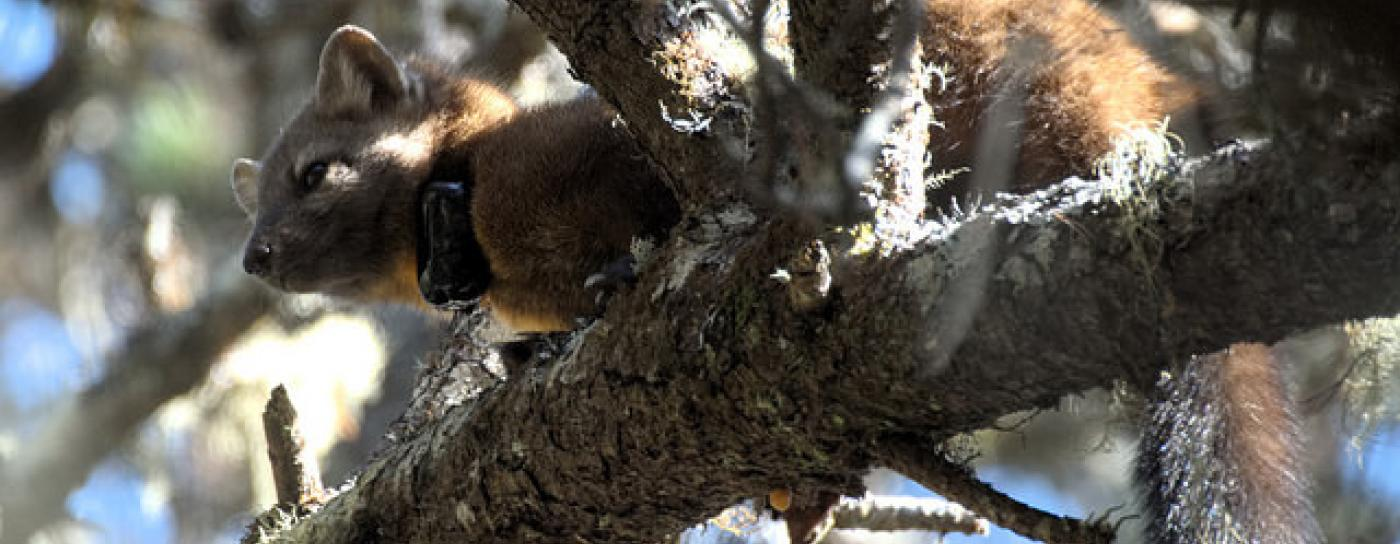 A male coastal marten in the Oregon Dunes wears a radio collar attached by researchers.