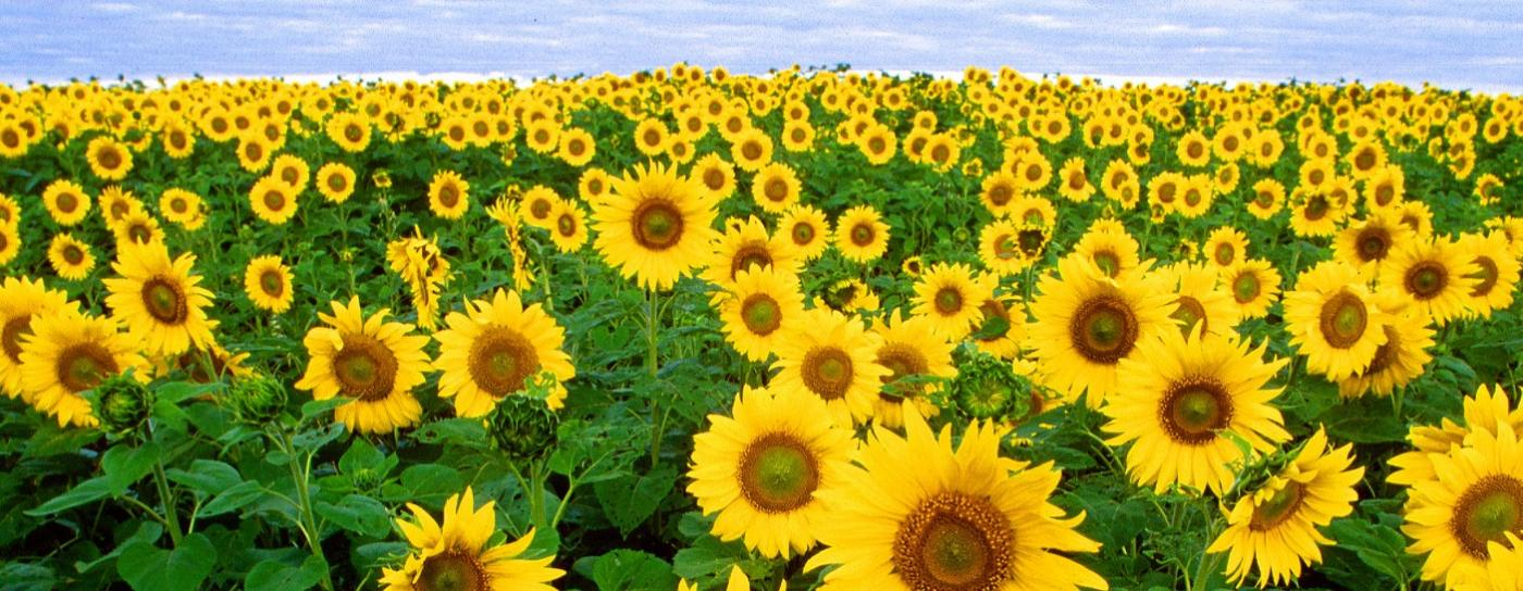 sunflowers are rich in vitamin E