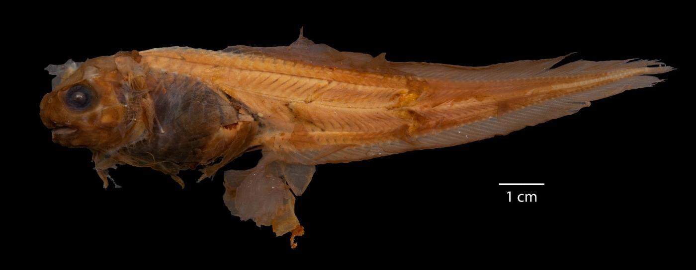 Paraliparis kadadakaleguak