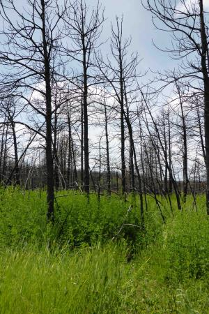 Trees after wildfire